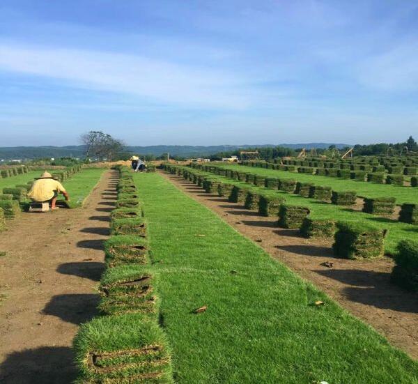 马尼拉草坪-马尼拉草皮的修剪与施肥!