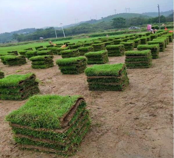 马尼拉草,大叶油草,兰引三号草