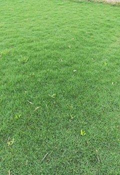 惠州马尼拉大型草皮种植基地