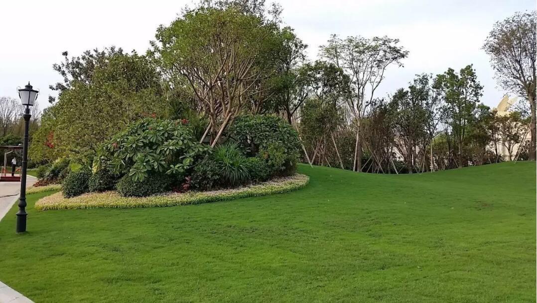 广东中山哪里有马尼拉草种植基地?