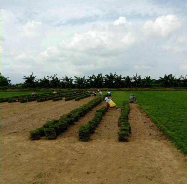 茂沁绿化草厂的兰引三号草皮马尼拉草皮如何养护?