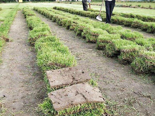 兰引3号草是不是日本的结缕草?