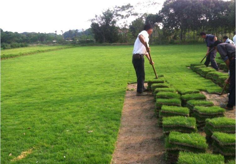 马尼拉草多少钱一平方,绿化草皮多少钱一平方?