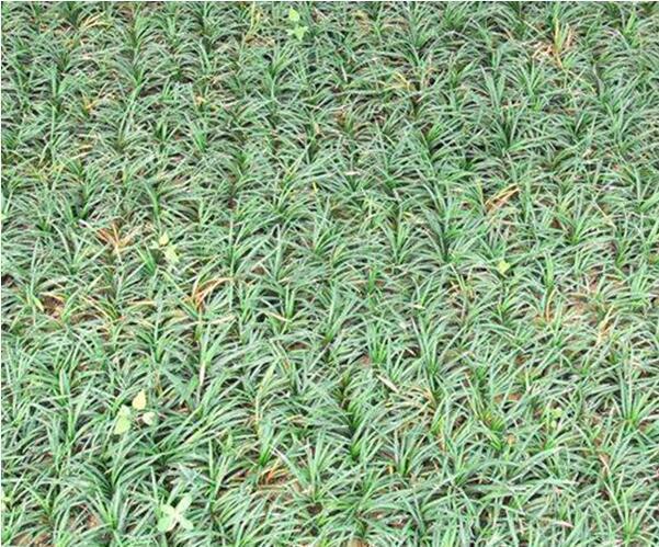 马尼拉草多少钱一平方?广东番禺马尼拉草坪多少钱一平方?