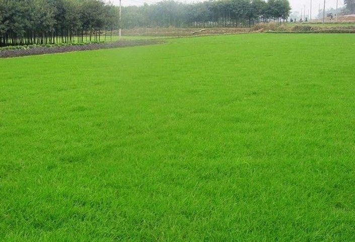 淮安草坪多少钱一平方?人工马尼拉草坪?