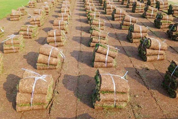 广东惠州兰引三号草、马尼拉草坪、百慕大草坪、细叶结缕草皮多少钱一个平方?