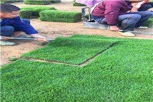 惠州市绿化卷草价格便宜,马尼拉草坪多少钱一平方米?