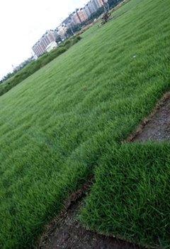 广东省大叶草、马尼拉草、兰引3号草皮多少钱一平米?