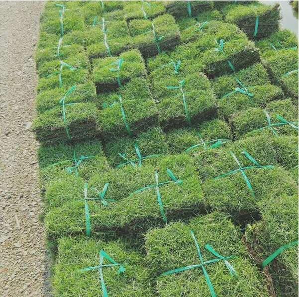 兰引三号草皮供应-足球场草坪种植施工方案