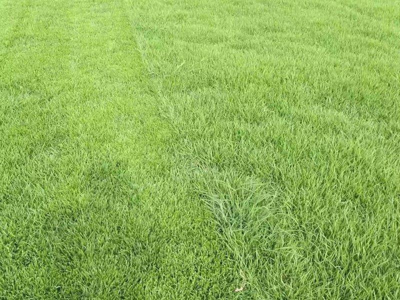【兰引三号草皮供应】一亩绿化草坪可以种植多少兰引三号种子?