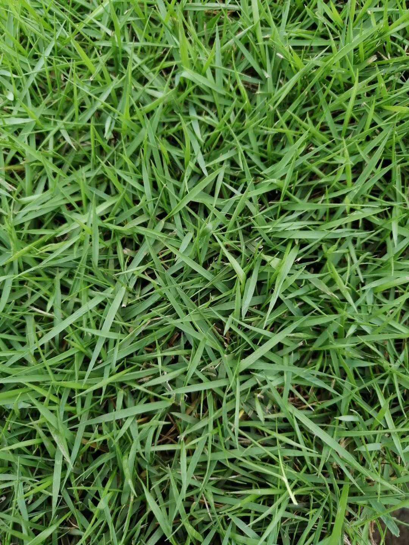 【兰引三号草皮供应厂家】介绍广东绿化草皮兰引三号草的栽培技术