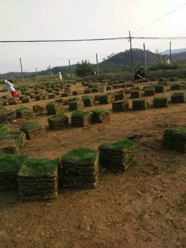 [大叶油草坪]大叶油草供应,惠州茂沁绿化草皮种植