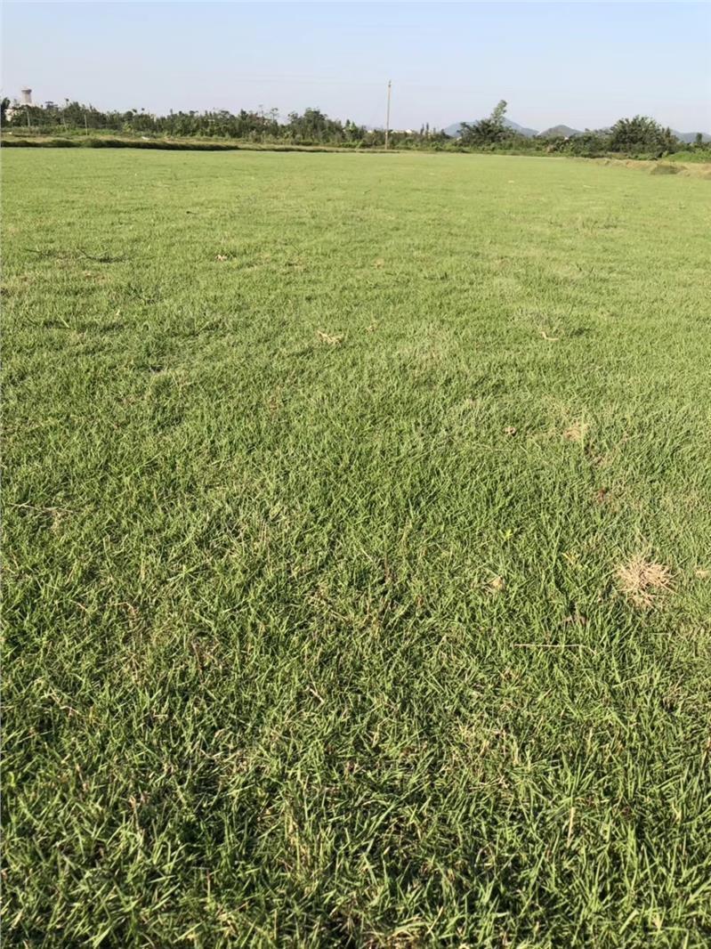 大叶油草 ,惠州茂沁绿化草场直批