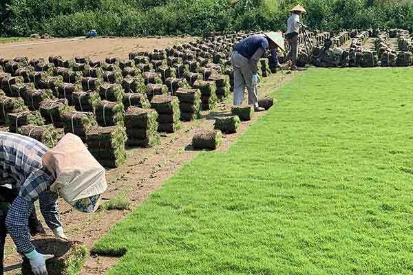 广东马尼拉草场多少钱一方,夏威夷草卷供应