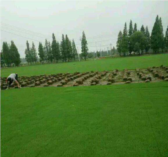 马尼拉草大批量供应-广东茂沁绿化草场园林绿化草皮种植基地