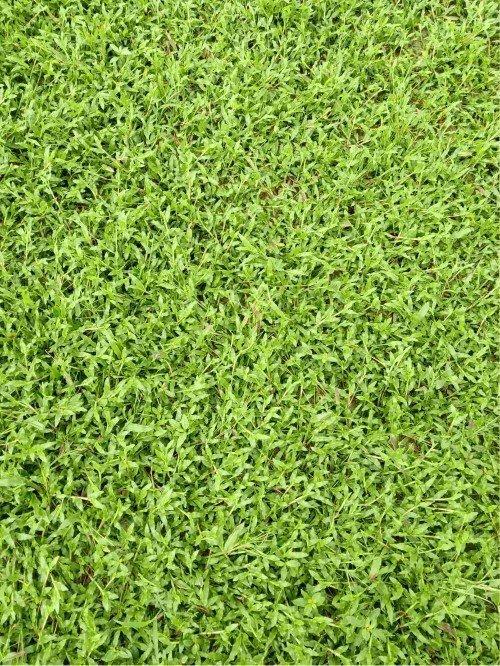 [大叶油草坪]大叶油草坪杂草防除方法