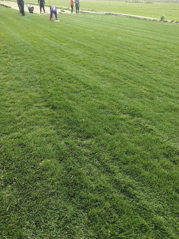 茂沁绿化批发草皮,种植讲述草坪什么品种柔软,绿化草皮,草皮基地,草皮种植,草皮价格