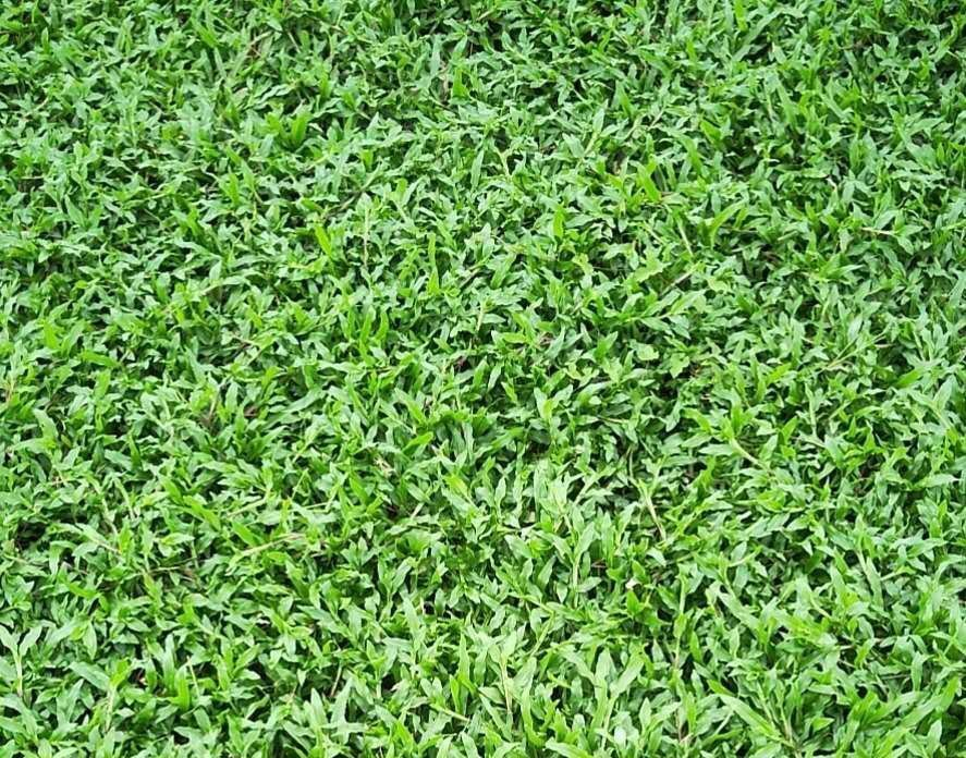[大叶油草坪]大叶油草种植后多久成坪