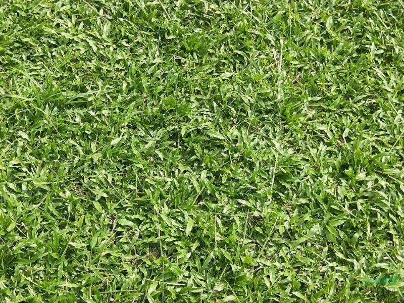 [大叶油草坪]大叶油草冬天会枯黄吗?