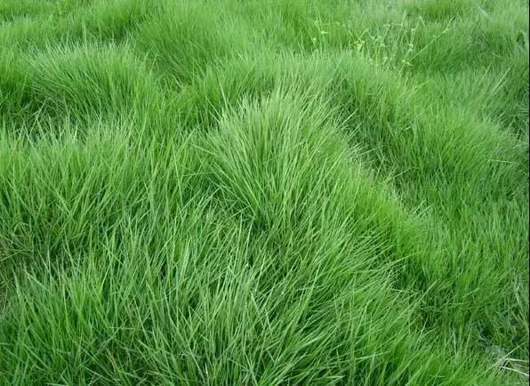 [马尼拉油草]别墅庭院中草坪常用草种介绍