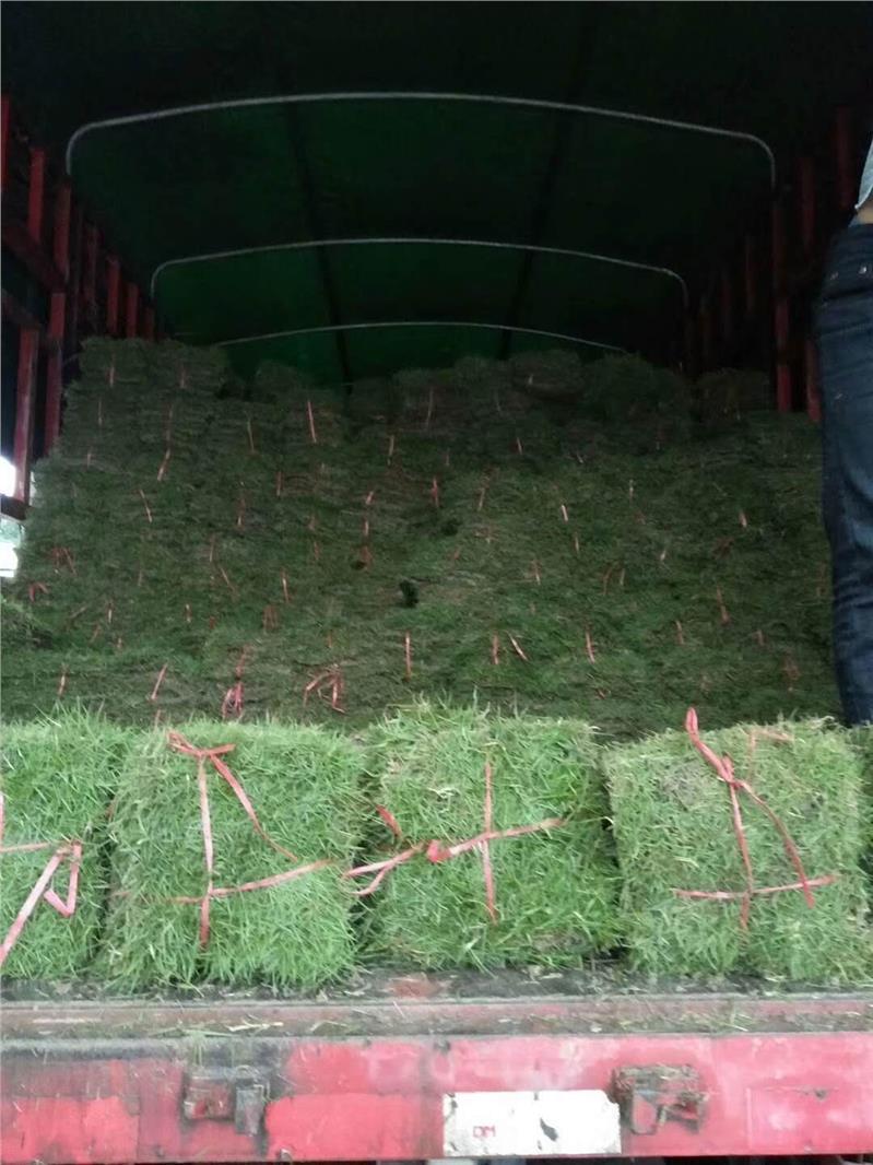 [马尼拉油草]大叶油草,马尼拉草批发