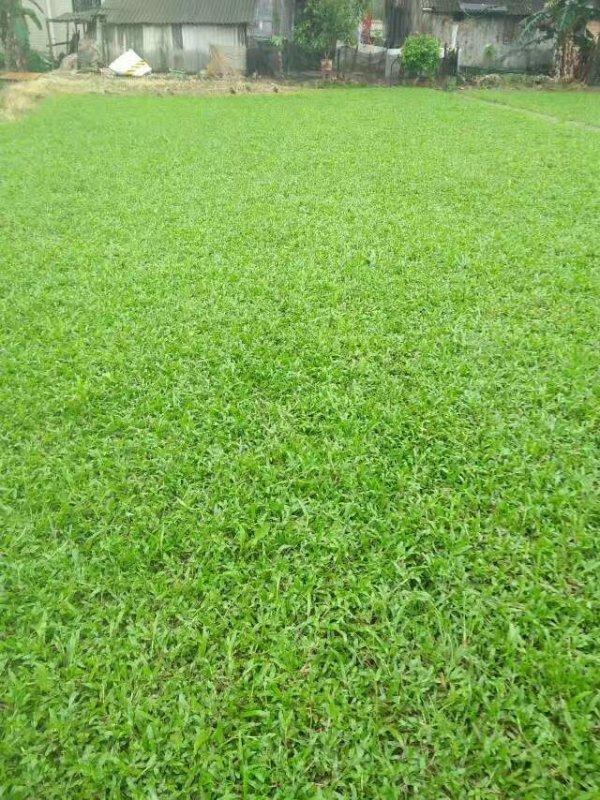 大叶油草草坪