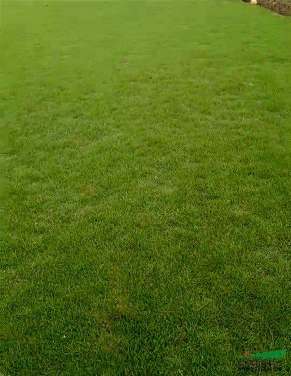 马尼拉草坪养护的几个小窍门