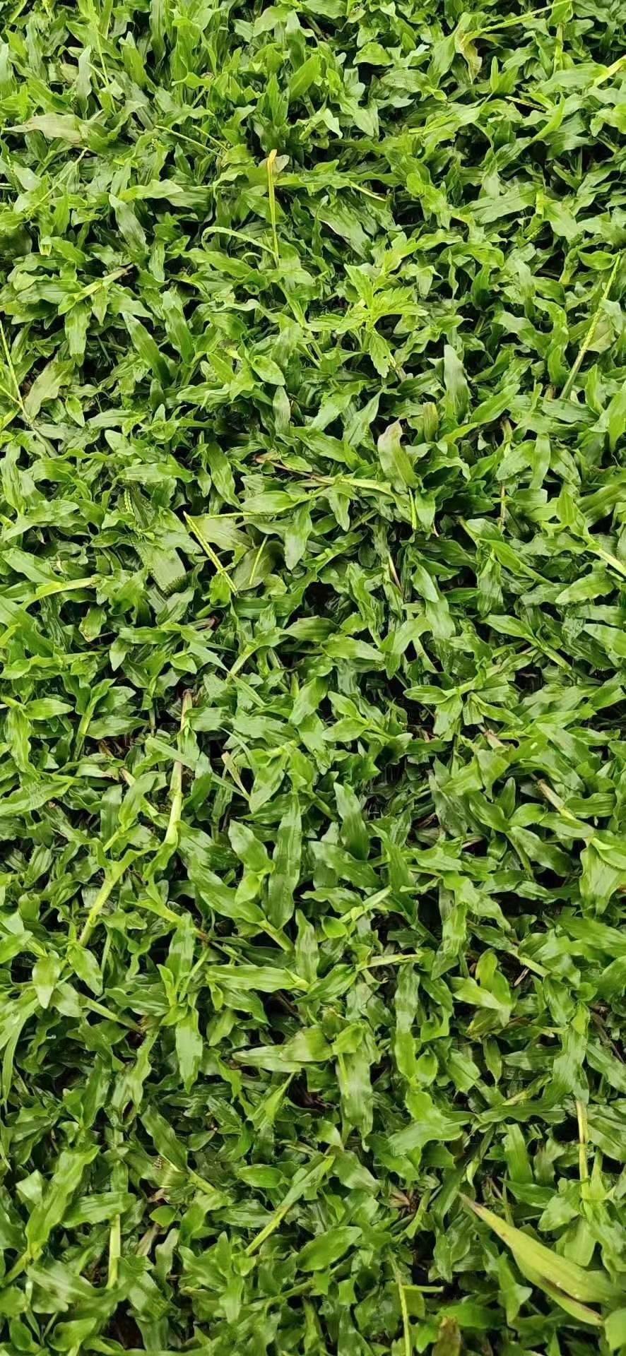 [大叶油草坪]如何种植大叶油草草皮