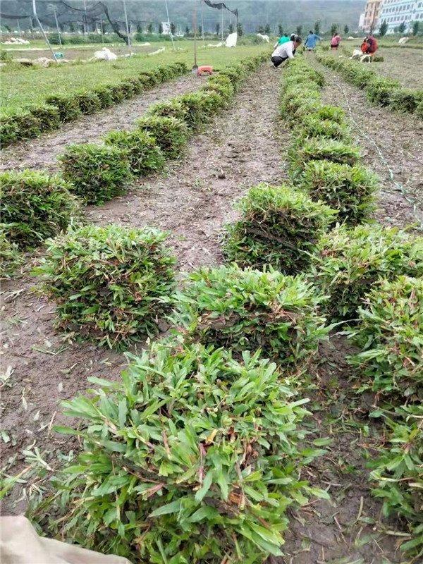[大叶油草坪]大叶油草块,大叶油草卷,大叶油草皮,大叶油草坪