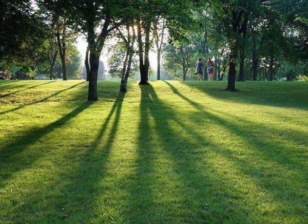 马尼拉草坪多少一平米?马尼拉草坪怎样养护管理