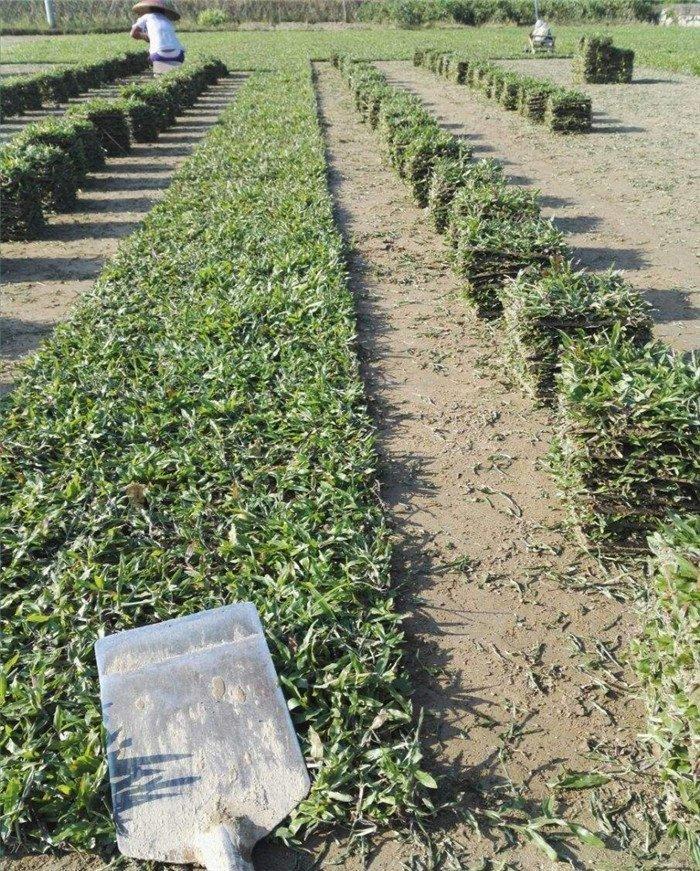 广东大叶油草坪基地,供应大叶油草皮