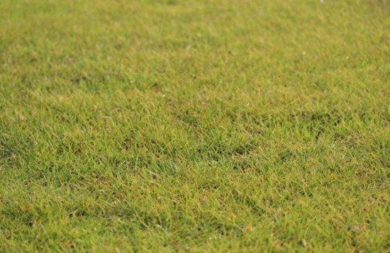 茂沁绿化绿化草皮供应厂家介绍细叶结缕草草坪草品种有哪些