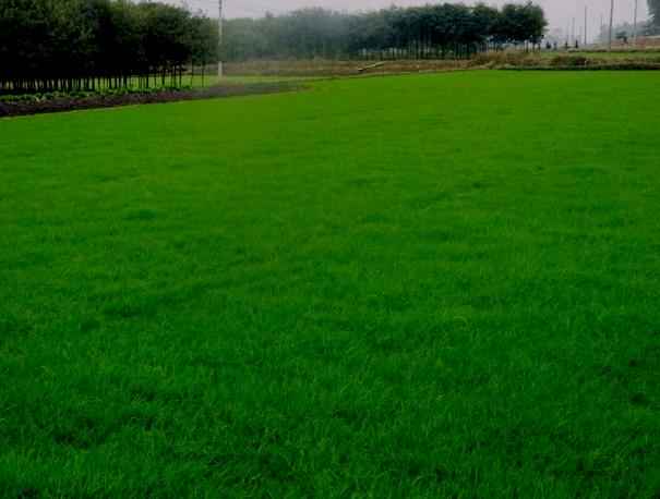 绿化草坪的养护知识