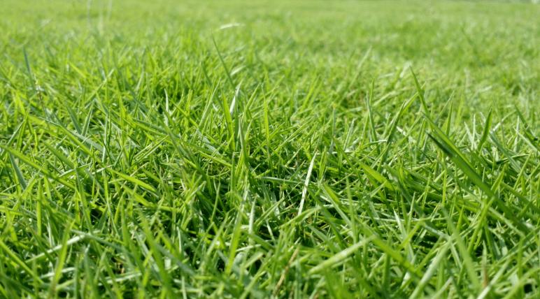 草坪,草皮用马尼拉草和高羊茅混播如何?