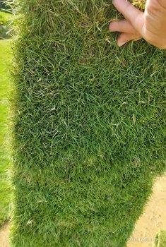 惠州马尼拉草坪,草坪