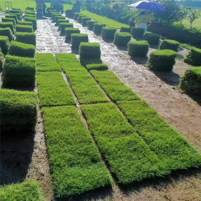 马尼拉绿化草坪草皮