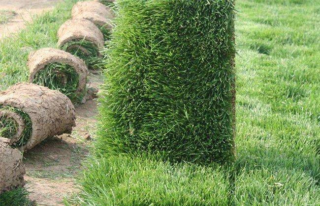 常用绿化草皮草坪品种介绍