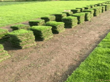 草坪种子种植方法,绿化草坪草皮种子怎么种植