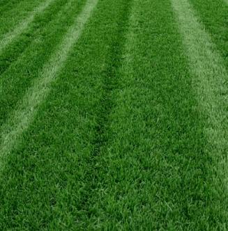 茂沁草坪草皮绿化