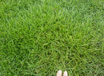 惠州茂沁绿化台湾草草坪草皮