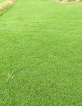 茂沁兰引三号草皮草卷