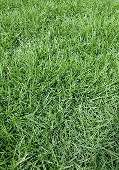 惠州兰引三号草坪种植