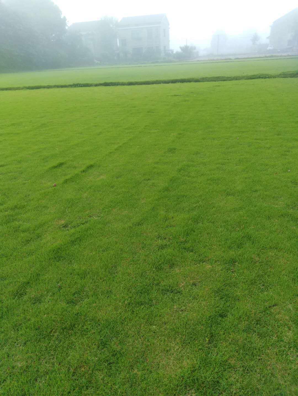 广东马尼拉草皮公司_珠晖区百慕大草皮价格,幼儿园用天然草坪好还是人造草坪好?