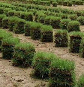 马尼拉草皮供应商,中山兰引三号草皮-广东茂沁绿化草坪基地,自产自销草皮草卷等品种齐全,量大价优