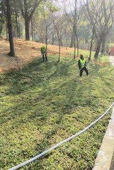 惠州大叶油草坪价格