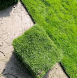 茂沁绿化马山大叶油草坪报价