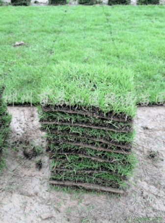 茂沁台湾草草坪