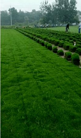 茂沁园林专用草皮全国直销