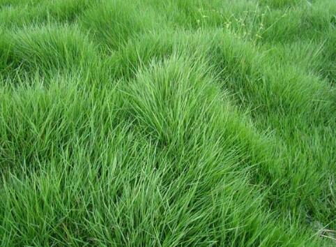 茂沁台湾草的特征和马尼拉草的区别