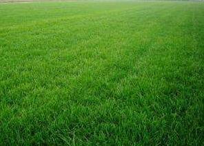 草坪草品种类